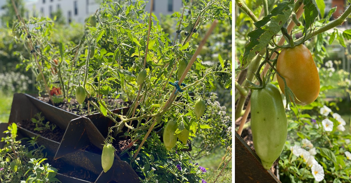Hochbeet Tomaten pflanzen